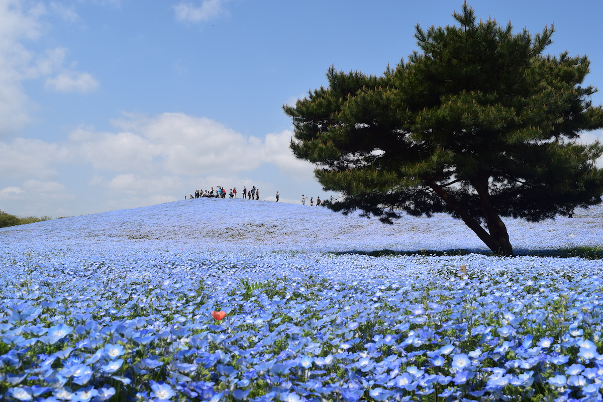 国営ひたち海浜公園(茨城) /  National Hitachi Seaside Park(Ibaraki)